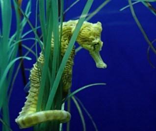 seahorse6